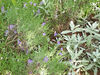 Lavendar and Sage